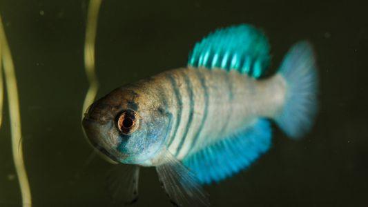 Estes peixes sobrevivem meses sem água, mas podem desaparecer