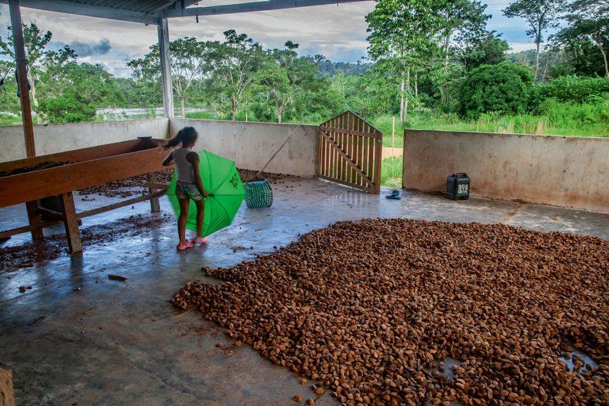 Já extraídas dos ouriços, as castanhas são expostas para secagem em um armazém da vila de ...