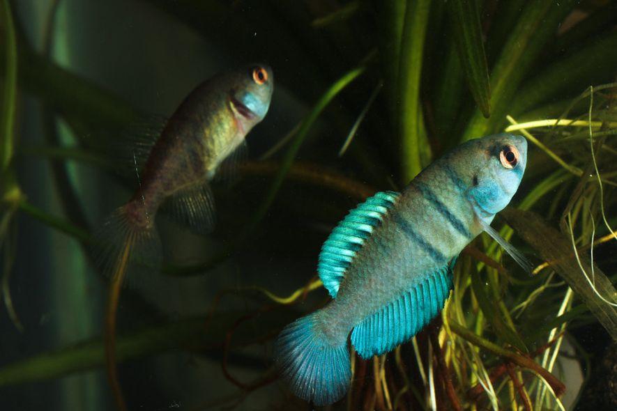 A maioria dos peixes-anuais apresentam dimorfismo sexual. Para atrair as fêmeas, os machos são mais coloridos.