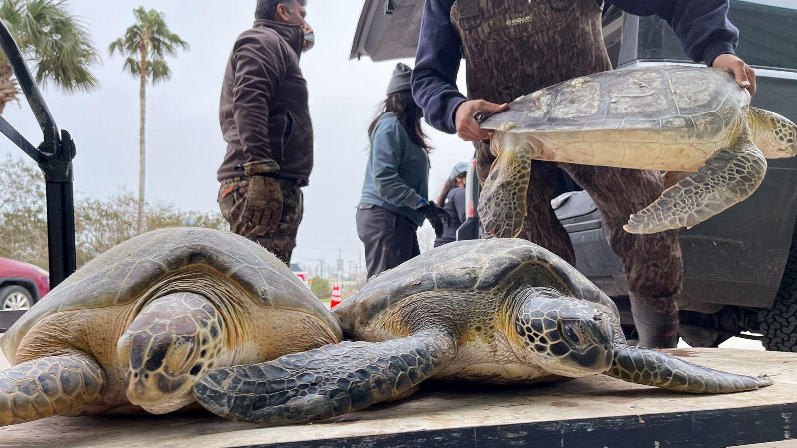 sea-turtles-texas-04