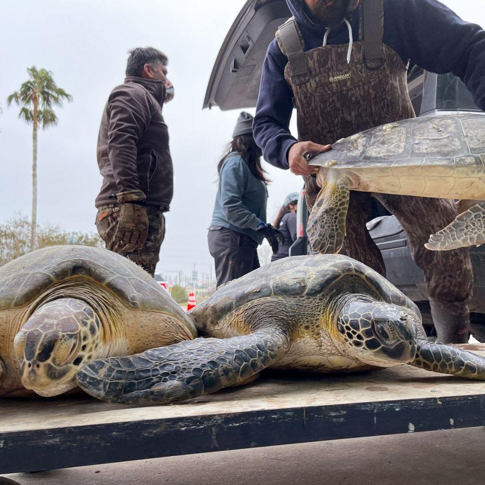 Cinco mil tartarugas-marinhas resgatadas de ilha de águas congelantes