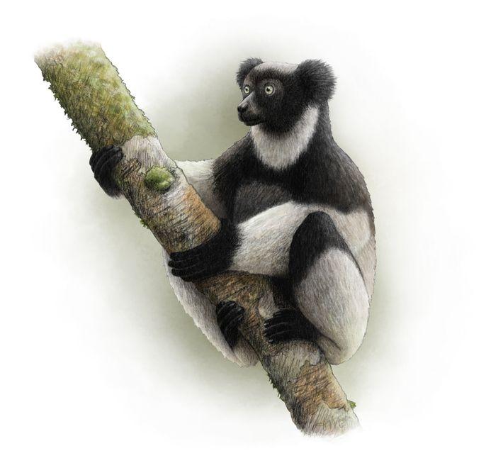 O Indri indri, criticamente ameaçado de extinção, é o maior lêmure do mundo.