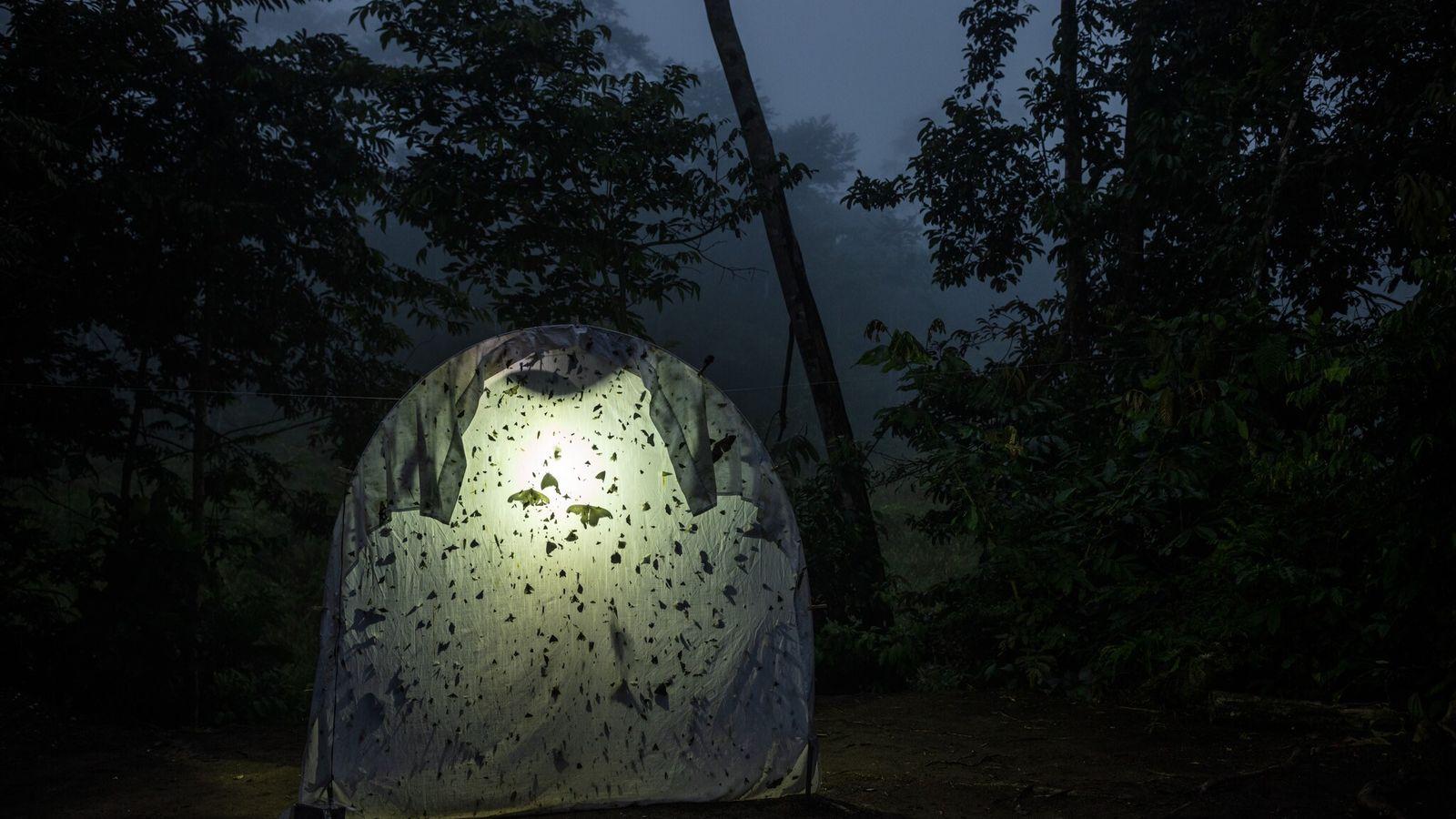 Insetos voadores noturnos pousam em um tecido iluminado em uma estação de campo no Equador.