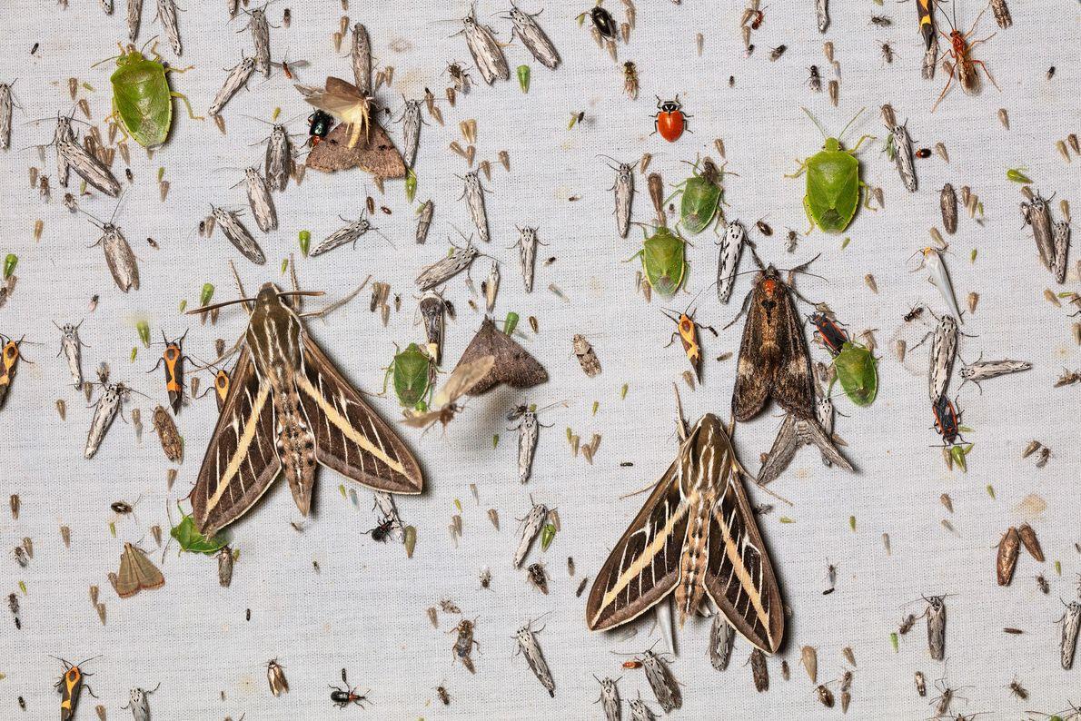 Um lençol iluminado nas montanhas Chiricahua, no Arizona, é coberto por grandes mariposas da espécie Hyles ...