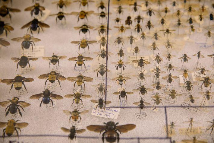 Algumas pessoas coletam abelhas preservadas. Há centenas à venda na Bug Fair.