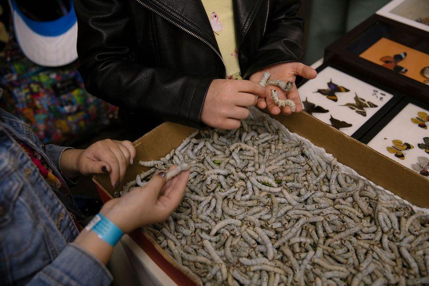 Bichos-da-seda chamam a atenção do público na Bug Fair. Eles não são os únicos animais vivos ...
