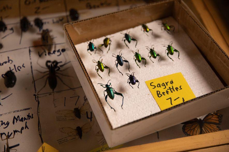 No estande do vendedor Bob Duff, na Bug Fair, os besouros Sagra, também chamados de besouros ...