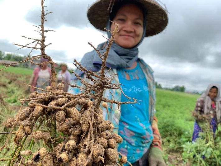 A peanut harvester displays her crop near the town of Ye-U.