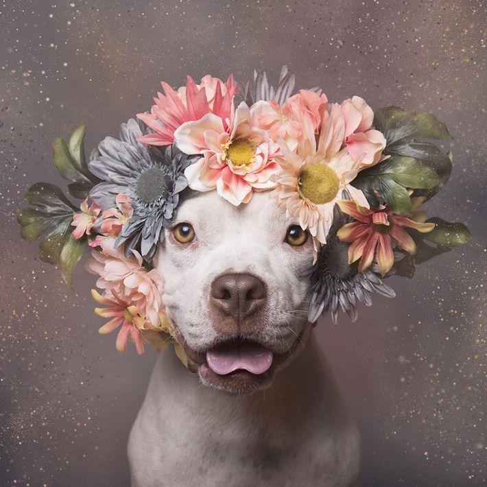 ensaio-fotografico-pitbulls