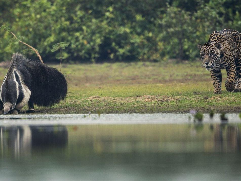 Tamanduá-bandeira encara onça no Pantanal – e nem se abala