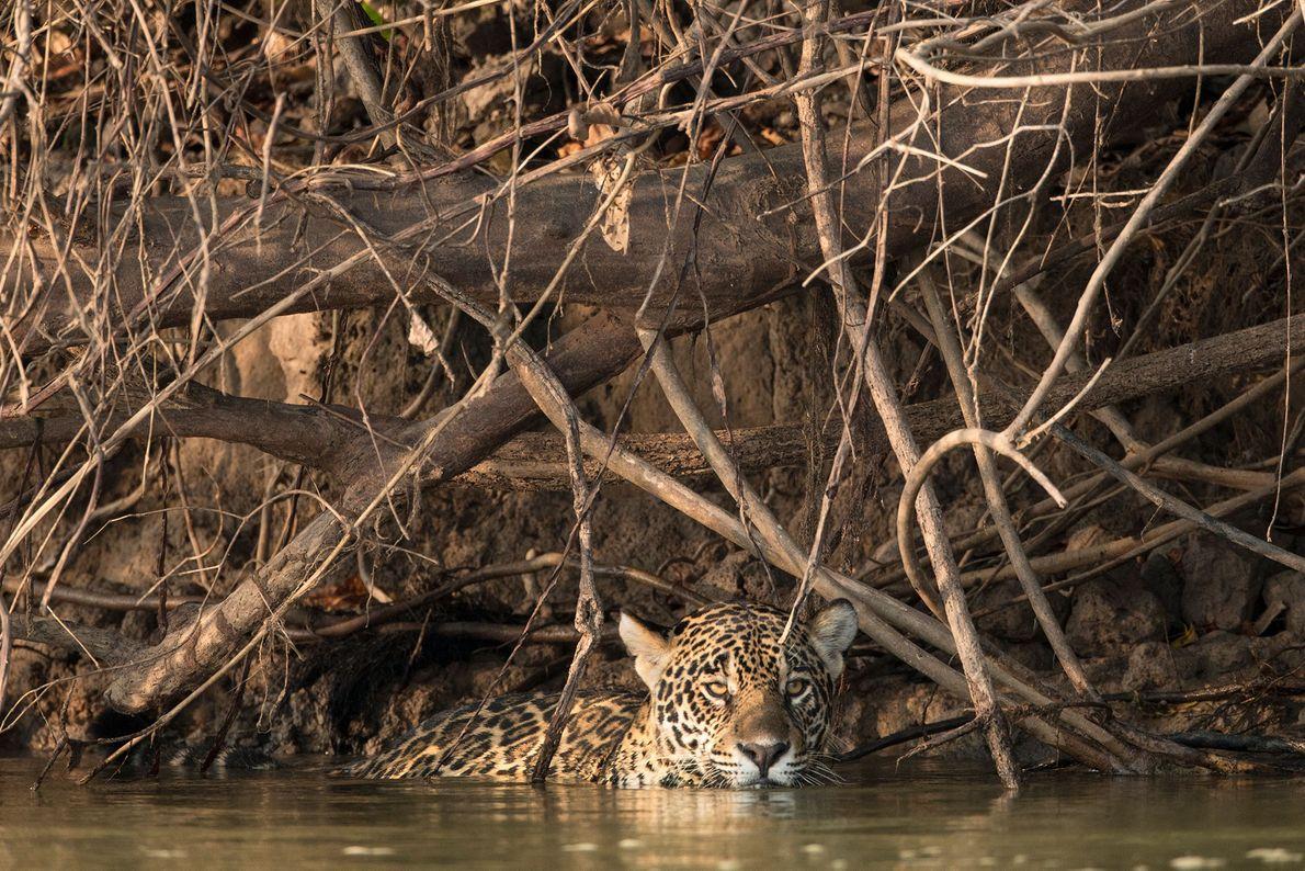 onca rio pantanal
