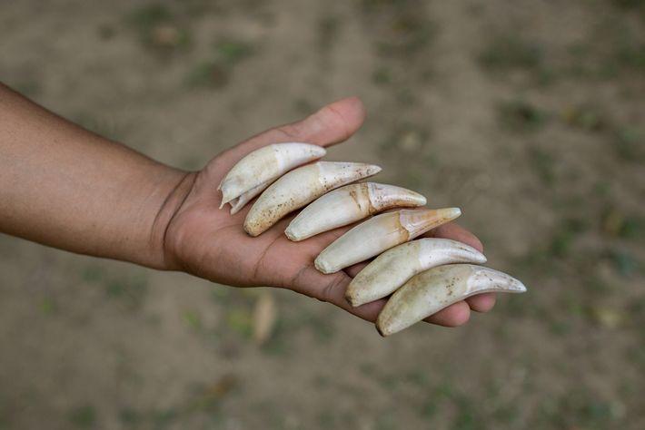onca dentes trafico bolivia