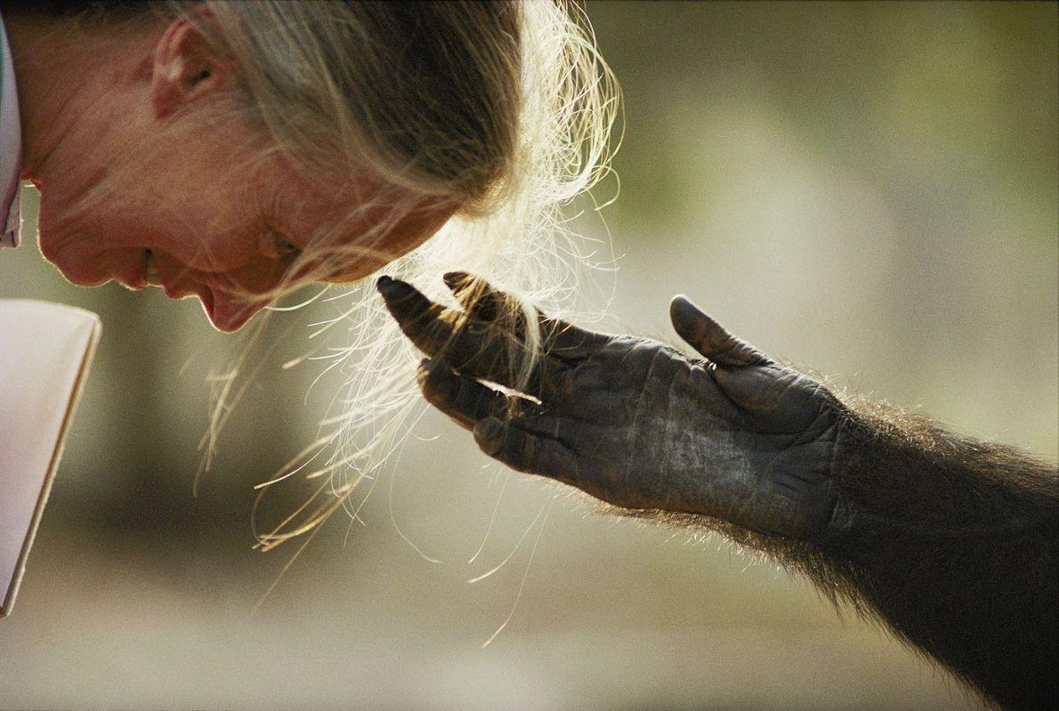 No zoológico de Brazzaville, na capital da República do Congo, um chimpanzé criado em cativeiro chamado ...
