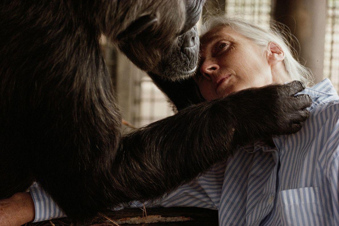 As décadas de Jane com os chimpanzés em área selvagem deram a ela uma grande facilidade ...