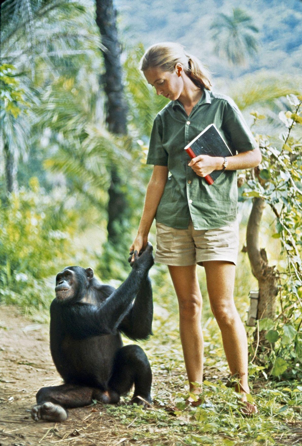 Em 1965, quando Hugo tirou esta foto, Jane tinha desenvolvido relacionamentos próximos com muitos dos chipanzés. ...