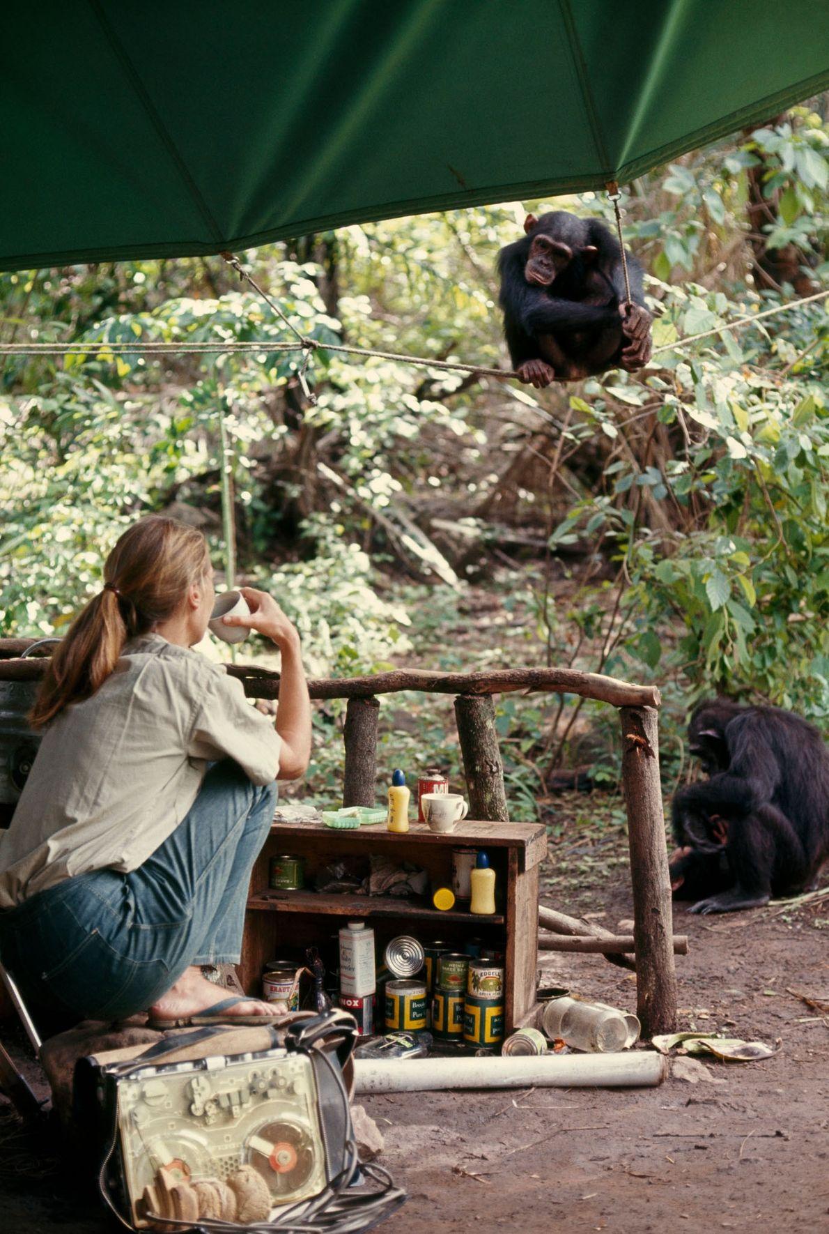 Empoleirada em um corda, um macaco fêmea chamado Fifi observa Jane beber seu drink enquanto espera ...
