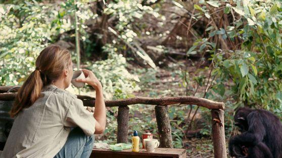 Galeria: como  Jane Goodall mudou o que sabemos sobre chimpanzés