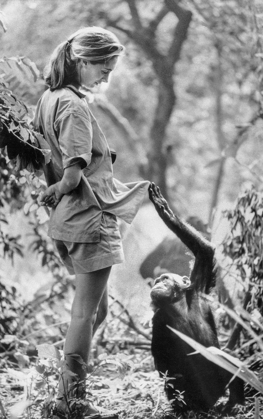 É assim que Jane pensava que os chimpanzés a viam: como um deles, só que diferente. ...
