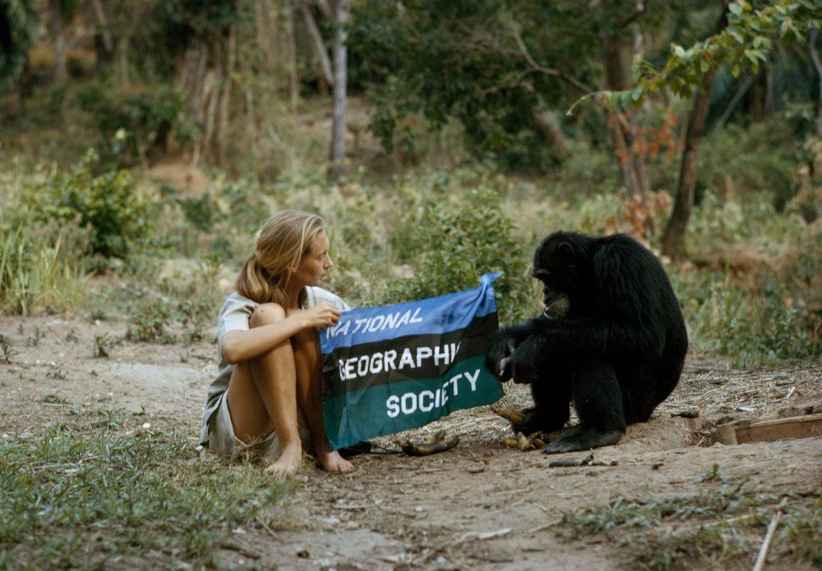 Com a ajuda de David David Greybeard, Jane mostra a bandeira da National Geographic Society em ...