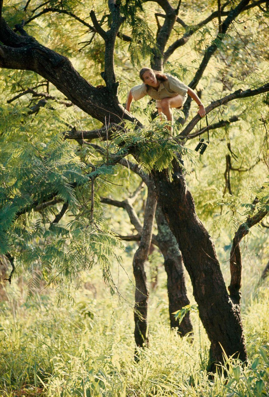 Com binóculos nas mãos, Jane subia árvores procurando vistas melhores dos chipanzés que ela estudava. Hugo ...