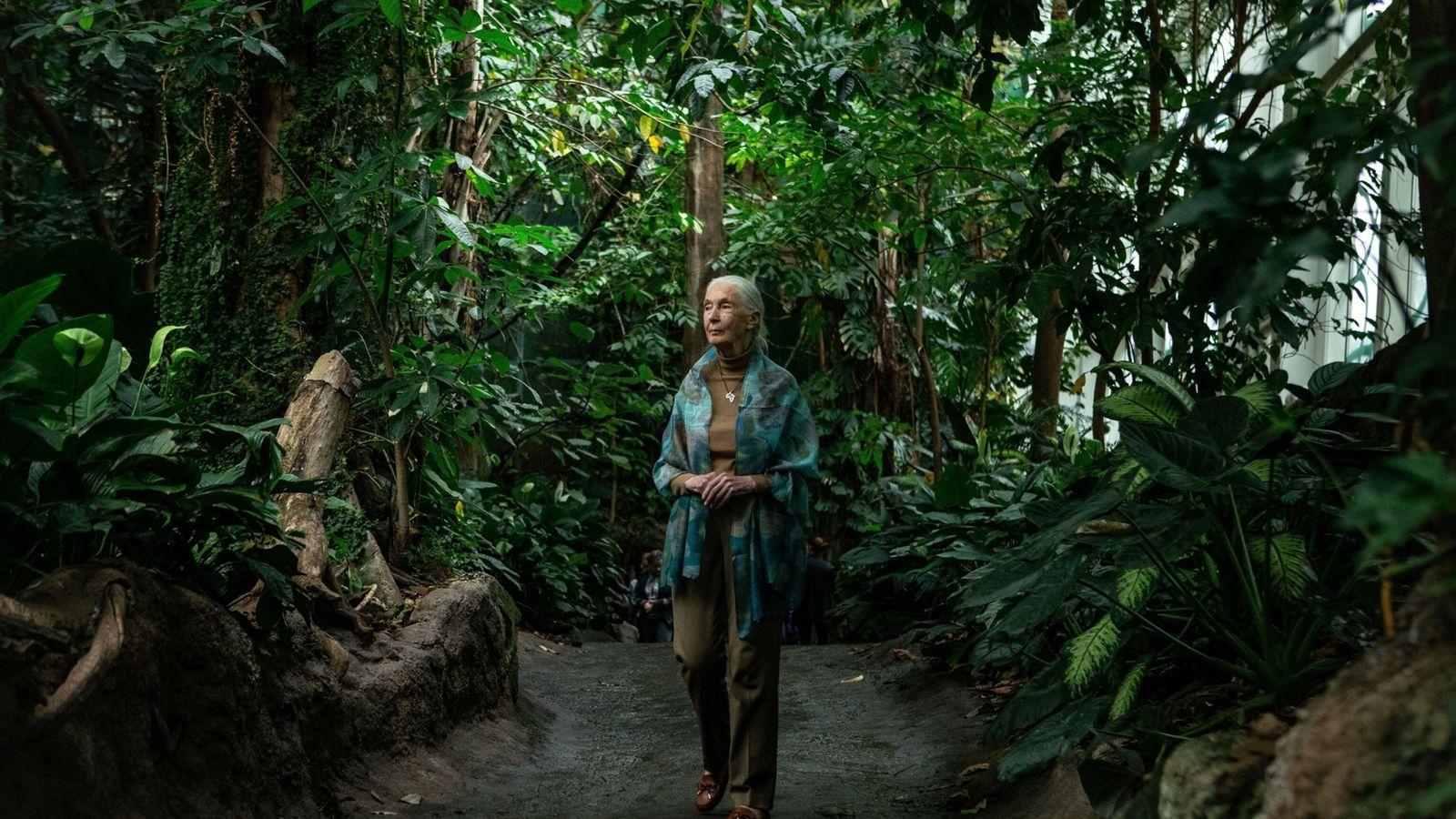 foto da primatóloga Jane Goodall no meio de uma mata