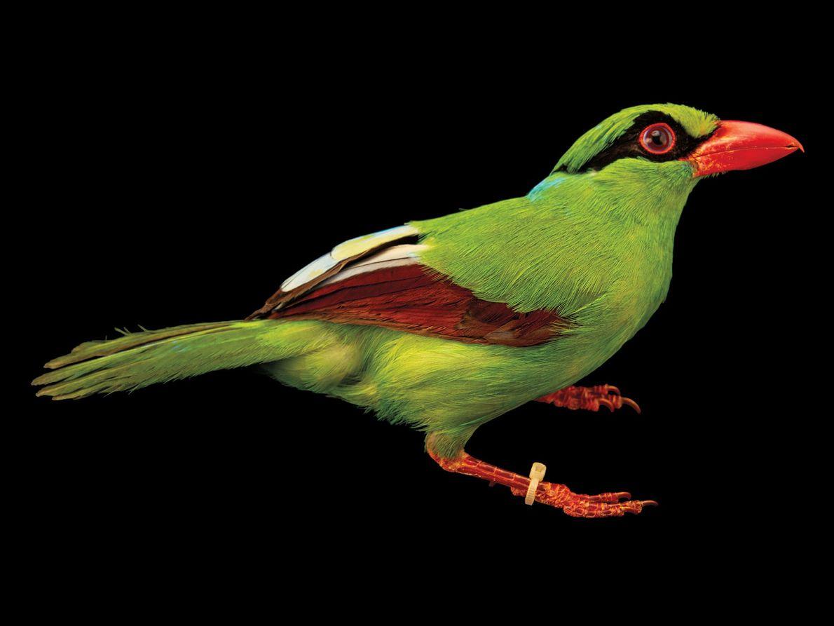 Pássaro da espécie Cissa thalassina (em perigo crítico de extinção)