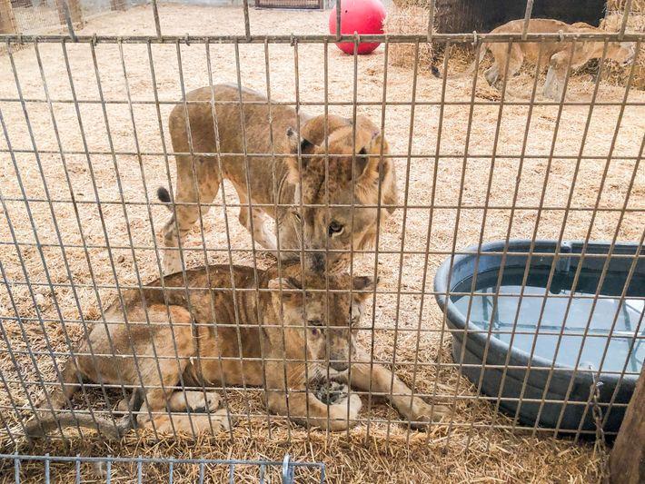 Os leões Nala e Leo descansando em uma área de contenção em 21 de setembro após ...