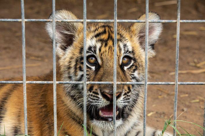 Um filhote de tigre é fotografado no G.W. Zoo em setembro de 2018. A interação com ...