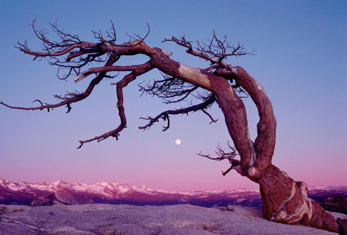 Jeffery Pine, Parque Nacional Yosemite
