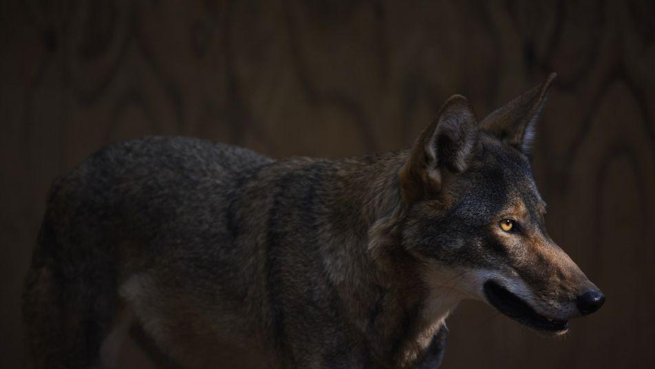 Lobos-vermelhos soltos na natureza dão esperança para espécie em risco de extinção