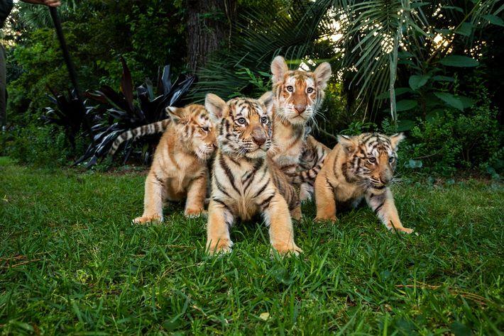 """Filhotes de tigre e """"ligre"""" sentados na grama do Myrtle Beach Safari em abril de 2019. ..."""