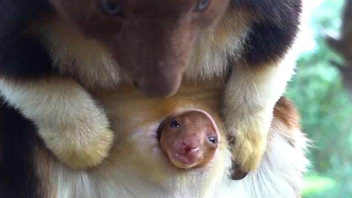Filhote de canguru-arborícola espia o mundo de dentro da bolsa da mãe