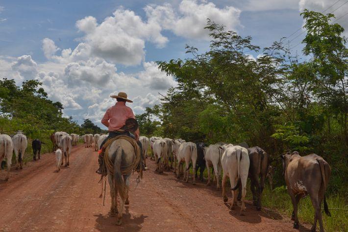 Boiada na rodovia MT-206, estado de Mato Grosso. o avanço da agropecuária é uma das maiores ...