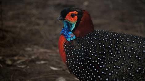 """Veja porque esse colorido """"rei das aves"""" está no centro dos esforços de conservação"""