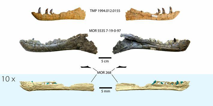 A reconstituição 3D da mandíbula do embrião de tiranossauro, na parte inferior da imagem, comparada com ...