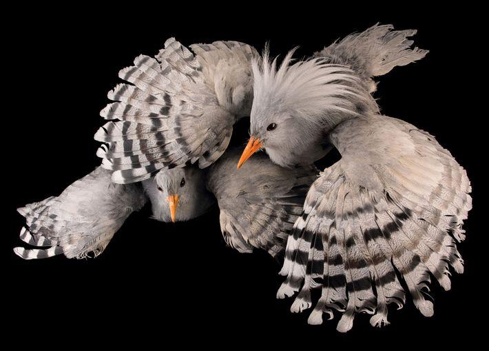Cagu, Rhynochetos jubatus (em perigo de extinção) – Como muitas espécies insulares, o cagu, ave nativa ...
