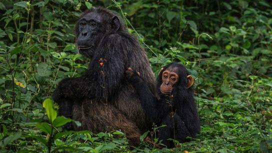 Aging Chimps