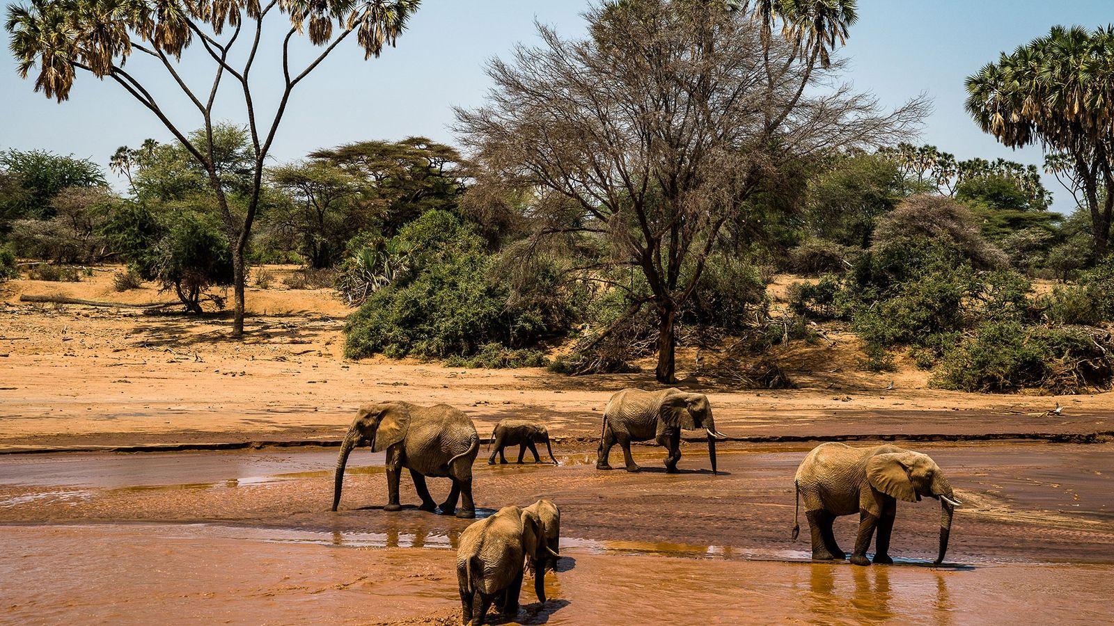Uma manada de elefantes atravessa o rio Sarara, no Namunyak Wildlife Conservancy, no Quênia. Fundado em ...