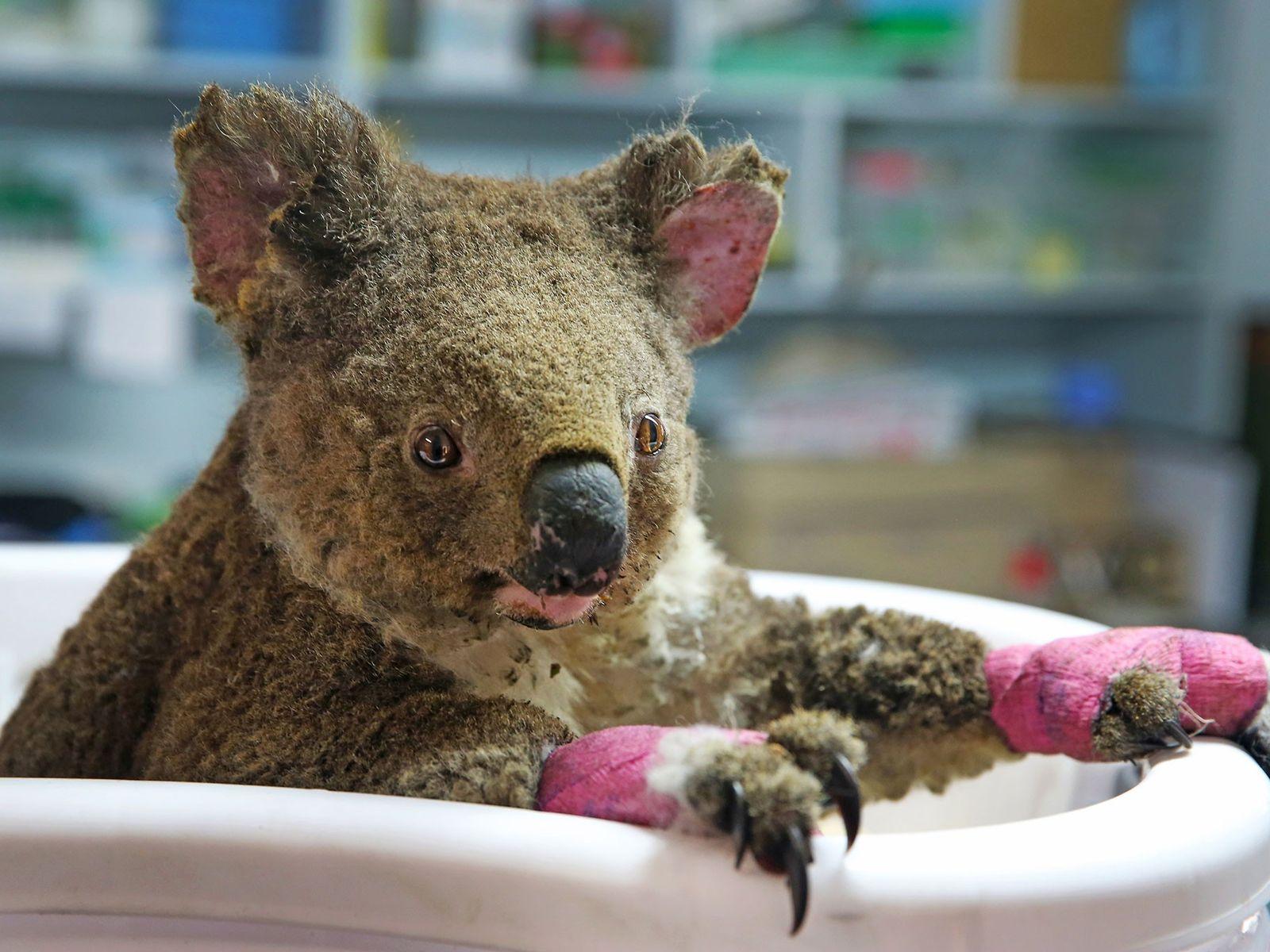 Coala fêmea, chamada de Anwen por seus socorristas, recebe tratamento no Hospital de Coalas em Port ...