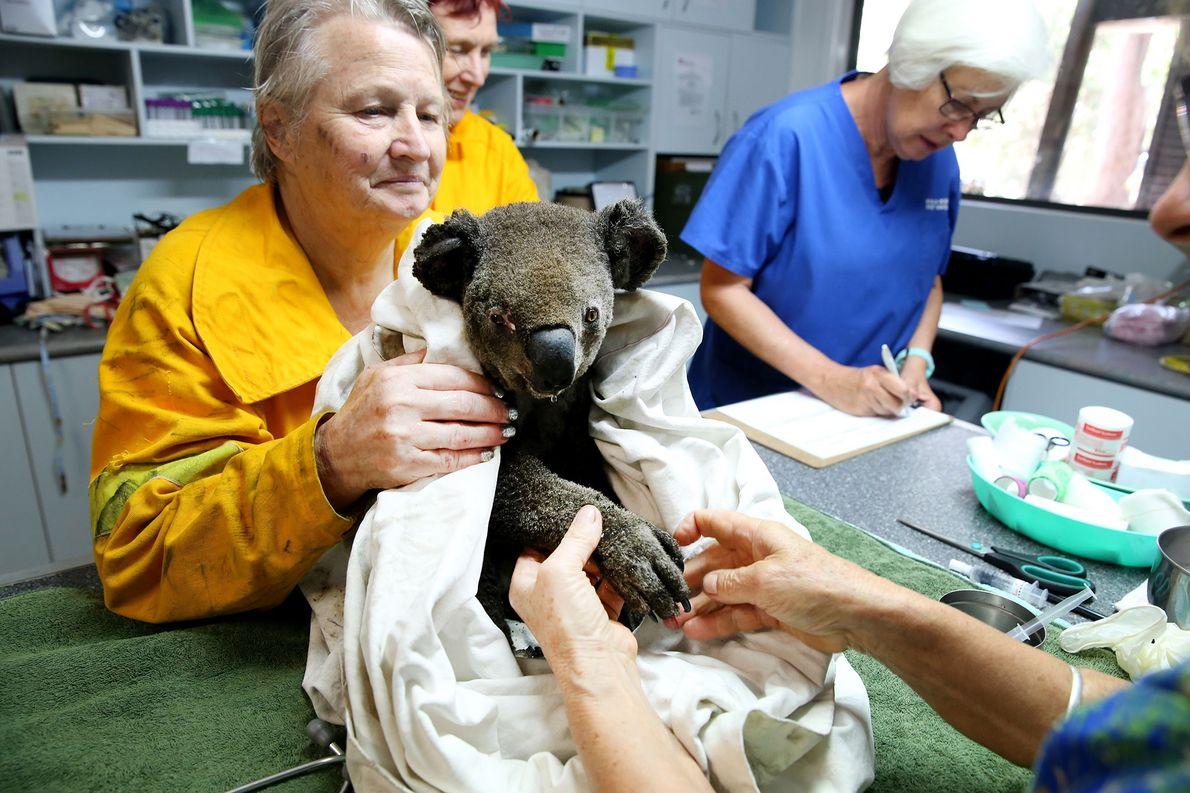 Coalas não estão funcionalmente extintos — pelo menos ainda