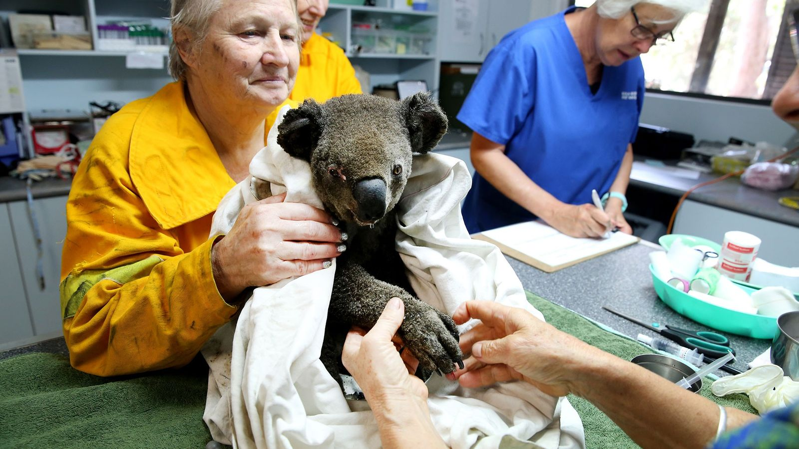 Os funcionários do Hospital de Coalas cuidam dos ferimentos de Peter, um coala macho gravemente desidratado ...
