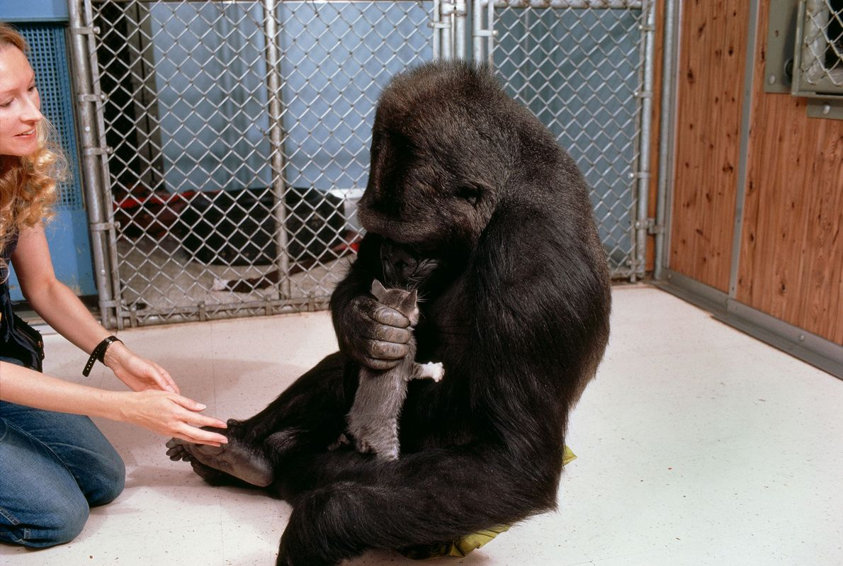 Nesta foto, Koko cuidadosamente segura e cheira o gatinho All Ball. Esta imagem mostra o comportamento ...