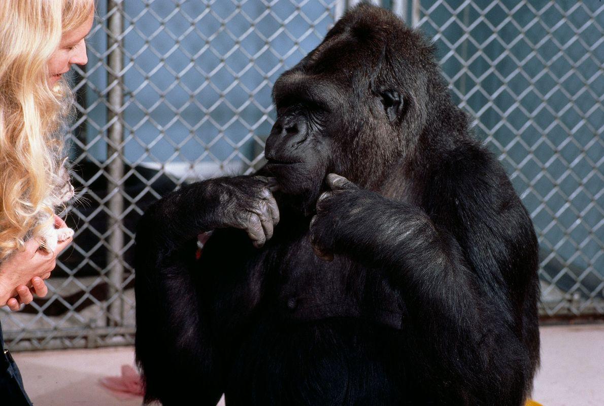 Dr. Patterson e Koko conversam usando a Linguagem Americana de Sinais. De acordo com Patterson, Koko ...
