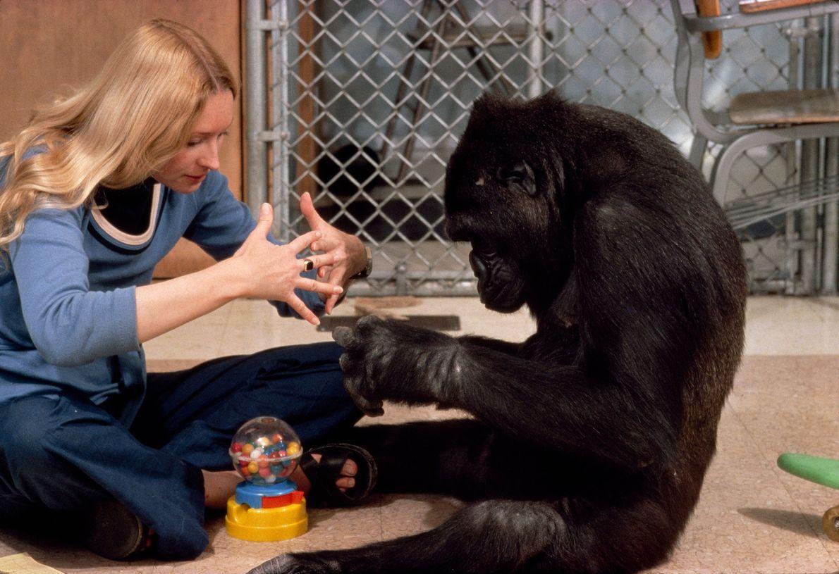 """Koko faz o sinal para """"máquina""""."""