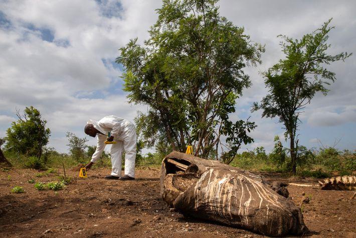 Os Parques Nacionais Sul-Africanos, que administram o Kruger, trabalham com especialistas forenses da polícia para tentar ...