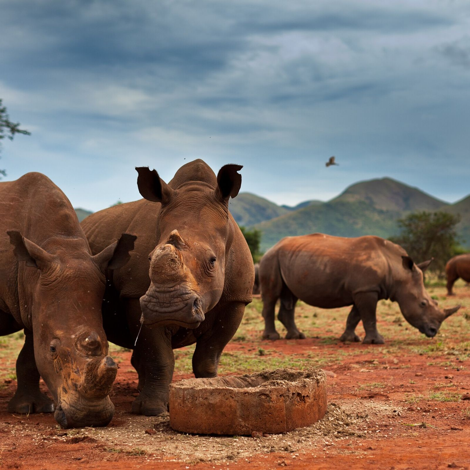 Nas reservas privadas da África do Sul, costuma-se retirar os chifres dos rinocerontes — estes da ...