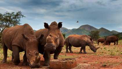 Como a maior população de rinocerontes do mundo diminuiu 70% em uma década