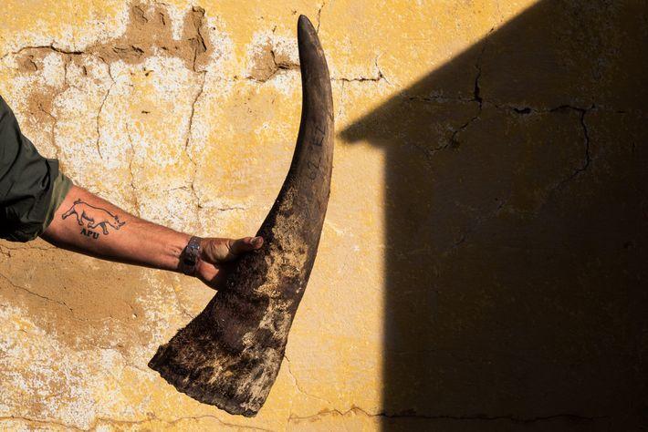 Quando são retirados os chifres dos rinocerontes, uma protuberância de pouco mais de 10 centímetros é ...