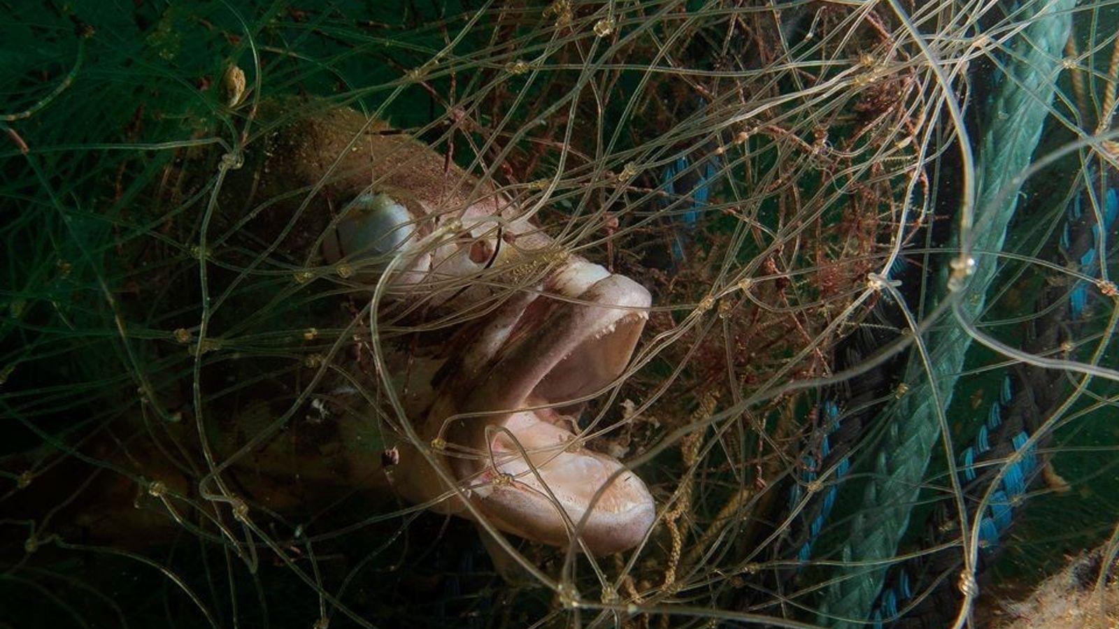 Rede de emallhe atinge peixe na ilha do Arvoredo em Florianópolis, Santa Catarina.