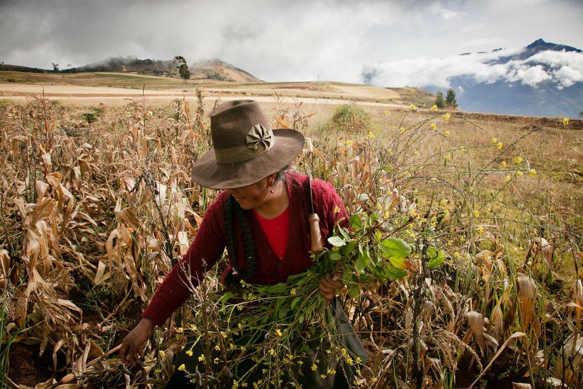 Gregoria Corihuman, uma mulher quéchua, remove ervas espontâneas de um campo de feijão-fava próximo a sua ...